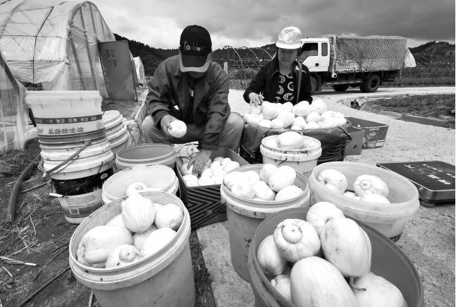 """抚顺县海浪乡松树村办起香瓜节 活动上""""吃瓜群众""""欢乐多"""