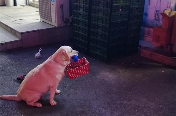 """狗子为这个家操碎了心 主人逛超市它叼筐外面等 谁撩都不""""离岗"""""""