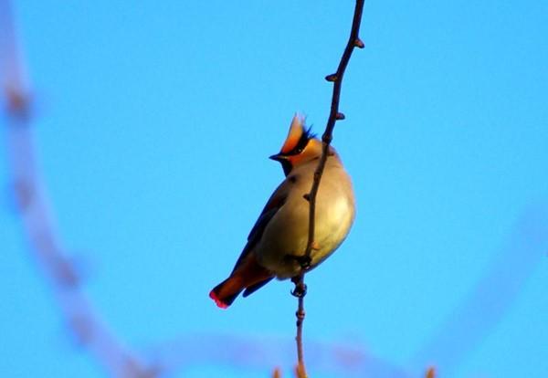 """抚顺多地拍到美丽""""太平鸟""""    野保部门呼吁:让更多鸟类自由栖息"""