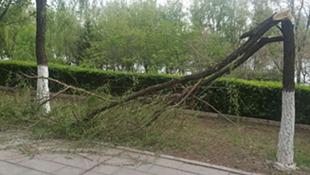小区附近树木折断倒伏 市民:应该是大风干的