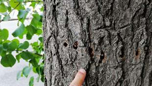 新华大街三棵树木遭黑手 看着太让人心疼了